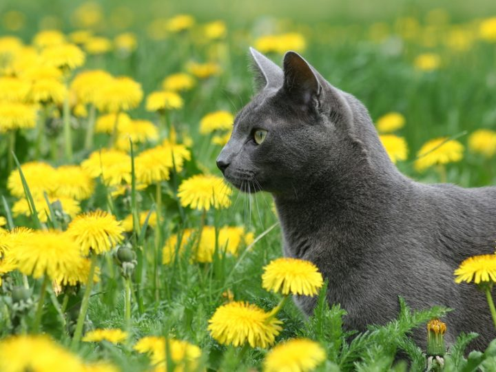 bigstock-Cat-In-Dandelions-488023