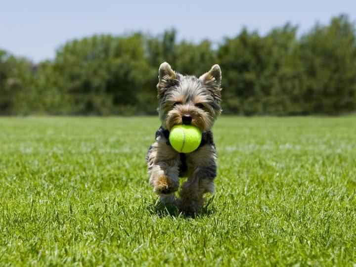 bigstock-Little-puppy-running-with-a-ba-15700619
